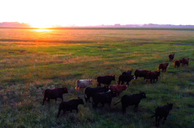 cattle in oklahoma at sunset